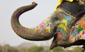 Decorated elephant at the annual elephant festival in Jaipur, India.